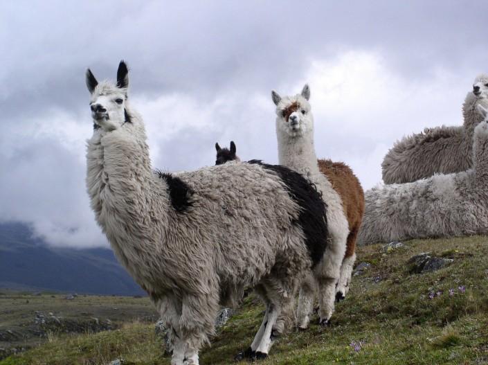 Lamas sind in Ecuador in freier Wildbahn anzutreffen